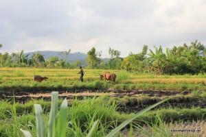 Reis und Rinder