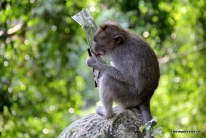 Affe leckt Chipstüte aus