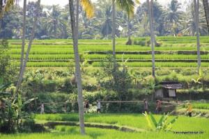 Arbeit vor Reisfeldern