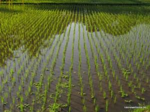 der junge nasse Reis