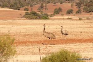 Emus am Straßenrand