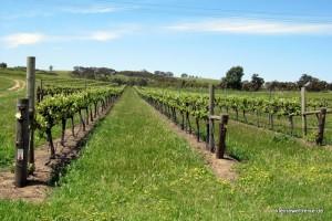 der Wein im Frühjahr