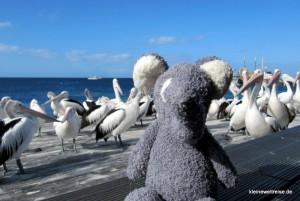 Fanta posiert mutig vor den Pelikanen