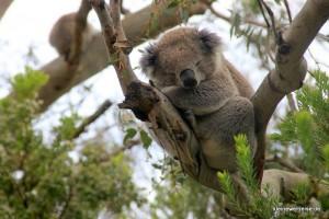 Koala auf dem Weg zum Leuchtturm