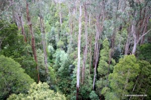 Eukalyptus von oben