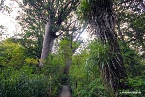 Kauris im Wipua Forrest