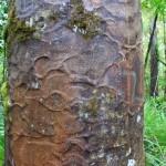 Die Kauri-Bäume im Wipua Forrest