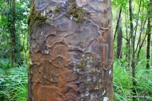 Stamm eine Kauri Baums
