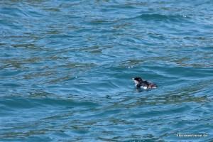 kleiner Pinguin im Wasser