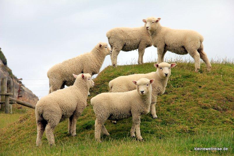 Gruppenfoto mit Schafen