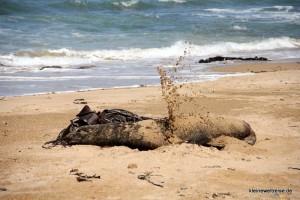 Seelöwe schmeisst Sand über sich