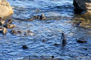 Pinguin geht ins Meer
