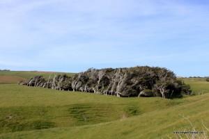 durch Wind geformte Bäume