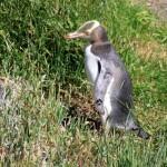 Otago Peninsula: wo die wilden Vögel wohnen