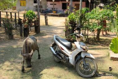 Wasserbüffel biegt um die Ecke
