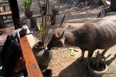 Fanta und der Wasserbüffel an der Veranda