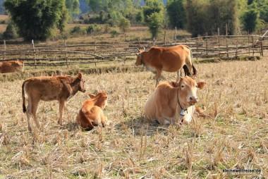 Kühe bei Ebene 3