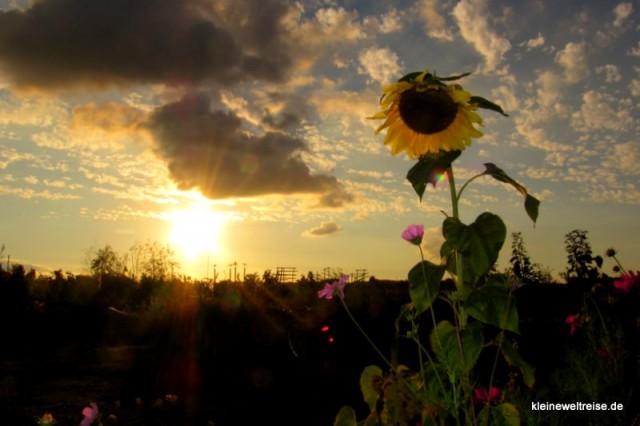 Die Sonnenblume mit Blitz ausgeleuchtet: Berlin, alter Flughafen Tempelhof