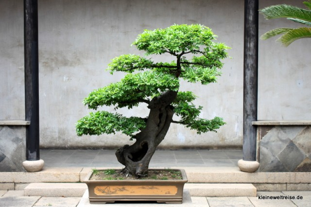 ein Bonsai