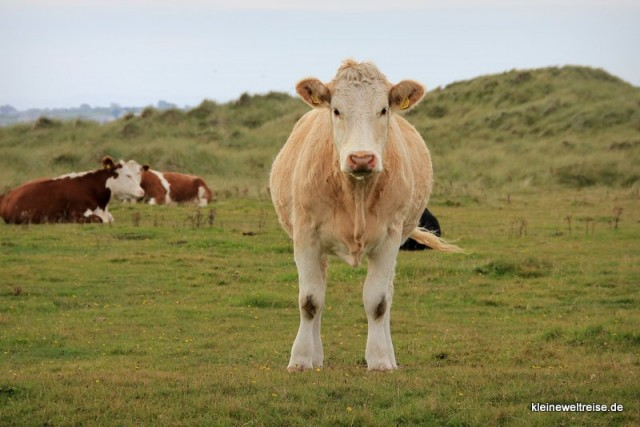 die irische Kuh