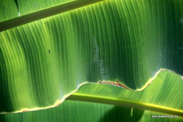 Bananenblatt im Gegenlicht
