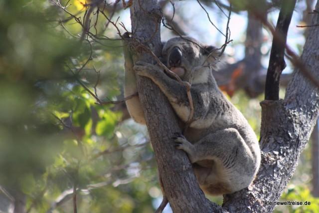 Koala auf Magnetic Island im Gegenlicht